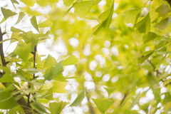 Abstract blur and soft ginko leaves blackground stock images
