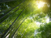 Abstract blur and soft of green bamboo forest Stock Images