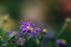 Abstract blur violet daisy flower blooming in blurry background. For web design, biology reference Stock Image
