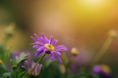 Abstract blur violet daisy flower blooming in blurry background. For web design, biology reference Royalty Free Stock Images