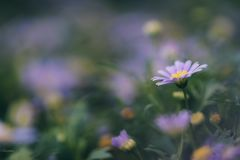 Abstract blur violet daisy flower blooming in blurry background. For web design, biology reference Royalty Free Stock Image