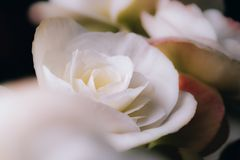 Abstract blur white rose flower blooming in blurry background with soft focus. Abstract blur violet daisy flower blooming in blurry background for web design Stock Photography