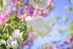 Abstract blurred background of bokeh and blooming white lilacs or syringa branch in springtime. Spring nature royalty free stock image