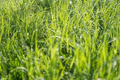 Blurred green grass background. Abstract blurred background with grass and sunlight and dew drops Royalty Free Stock Photos