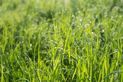 Green grass background. Abstract blurred background with grass and sunlight and dew drops Stock Photo