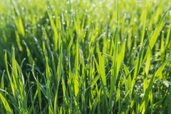 Green grass background. Abstract blurred background with grass and sunlight and dew drops Royalty Free Stock Photography