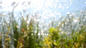 Blurred background of reeds on the bank of a lake river. Abstract blurred background of reeds on the bank of a lake river stock video footage