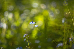 Abstract blurred background with small beautiful blue flowers with beautiful bokeh in sunlight Stock Photography
