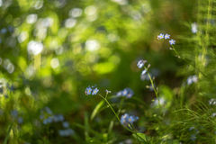 Abstract blurred background with small beautiful blue flowers and green plants with beautiful bokeh in sunlight Stock Image