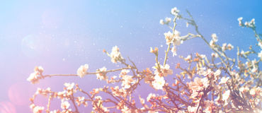 Abstract blurred banner of spring cherry tree Stock Photos
