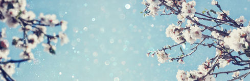 Abstract blurred banner of spring cherry tree Royalty Free Stock Photo