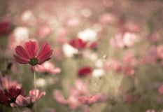 Abstract blurred cosmos flower in vintage tone style royalty free stock photos