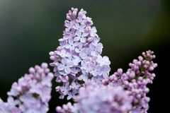Abstract blurred dark background with bokeh and blooming lilac or syringa branch in springtime. stock photo