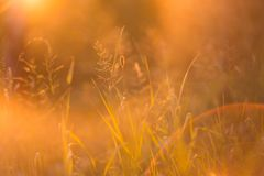 Abstract blurred flora background with autumn grass in the sunlight in sunset stock images
