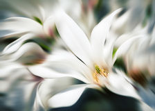 Abstract blurred image of magnolia flowers Stock Photo
