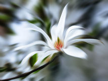 Abstract blurred image of magnolia flowers Stock Photography