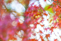 Abstract blurred image of Red and orange maple leaf in mid autum Royalty Free Stock Image