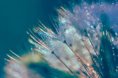 Abstract blurred macro photo of fluffy dandelion in dew drops. With glitch effect stock photo