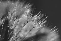 Abstract blurred macro photo of fluffy dandelion in dew drops, small depth of field. Black and white image stock images