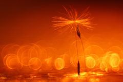 Abstract blurred natural background orange dandelion Stock Image
