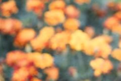Abstract blurred orange tagetes flower background, vector eps 10. Abstract blurred orange tagetes background. Decorative web banner with blooming marigolds stock illustration