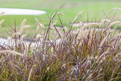Abstract blurred photo of beautiful grass flower swaying in the Royalty Free Stock Images