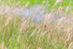 Abstract blurred photo of beautiful swollen finger grass swaying Royalty Free Stock Photos