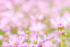 Abstract blurred of pink cosmos flower field. Stock Image