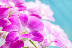Abstract blurred of purple orchids, Dendrobium. Stock Image