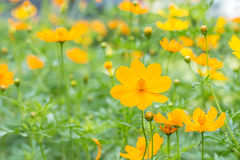 Abstract blurred of yellow cosmos flower field. Abstract blurred of yellow cosmos flower field, in soft color and soft blurred style, on bright sunlight Royalty Free Stock Image
