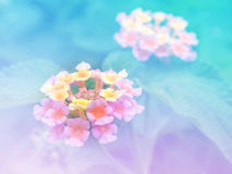 Abstract Blurry Lantana (Phakakrong flowers in Thai) Flower colorful background. Royalty Free Stock Photography