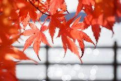Abstract Bokeh blurred and red Japanese Maple royalty free stock photos