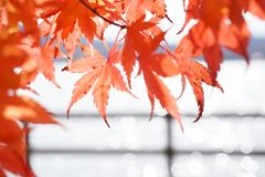 Abstract Bokeh blurred water and closeup Maple Leaf royalty free stock photo