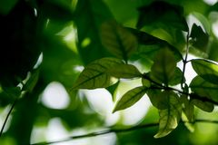 Abstract bokeh nature background and beautiful wallpaper.high quality  Defocus of green leaf on tree. Stock Image
