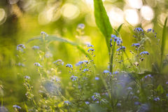 Abstract bright blurred background with spring and summer small blue flowers and plants. With beautiful bokeh in the sunlight. Abstract bright blurred background Royalty Free Stock Images