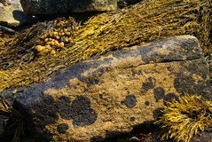 Abstract - brown kelp on granite boulder Royalty Free Stock Photos
