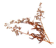 Abstract brown twig of dried bush with small open bolls seeds Royalty Free Stock Photography