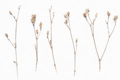 Abstract brown twig of dried bush with small open bolls seeds, flowers, isolated elements on white background for scrapbook. Object, roughage autumn leaf Stock Photo
