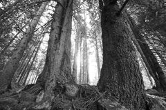 Abstract bw autumn forest Royalty Free Stock Photo
