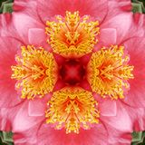 Abstract Camelia background. Kaleidoscope pattern of a Camelia for a digitally created background Stock Photography