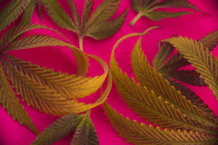Abstract cannabis leaves pattern over pink background Royalty Free Stock Photos