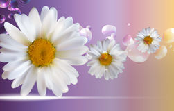 Abstract Chamomile Flowers Natural Spring and Summer Background. 3D Realistic Vector EPS10 Stock Photos