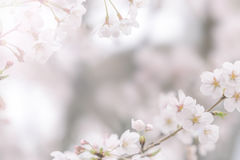 Abstract cherry blossom for Background Royalty Free Stock Photography