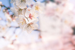 Abstract Cherry Blossom,  Soft focus, background Royalty Free Stock Photography