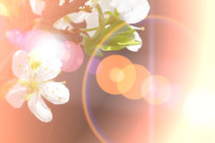 Abstract Cherry flowers background Stock Image
