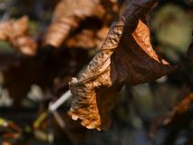 Abstract close up of a brown dried leaf in Autumn. Shallow depth of field. royalty free stock image