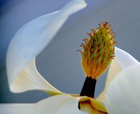 Abstract close-up of the center of a white magnolia blossom stock photography