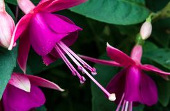 Abstract close up fuchsia blooms. With leaves royalty free stock photos