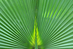 Abstract close up of a green palm leaf Royalty Free Stock Photography
