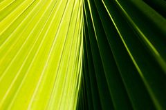 Abstract close up of a palm tree leaf with contrasting light and dark green sides and diagonal lines comming from the center. Fresh natural exotic background stock photography